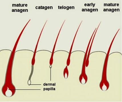 Keguguran Rambut: Fasa pertumbuhan semula rambut
