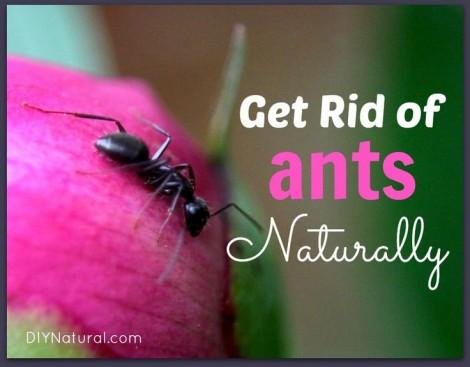 Halau semut dari rumah secara alami